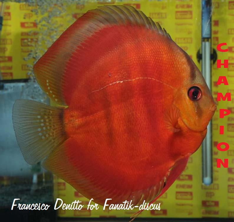 Discus red cover brun rouge best in show
