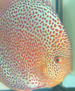 Eau des discus ce red spotted snakeskin sera plus exigent