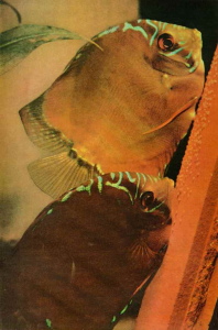 The discus fish yields a secret National geographic Mai 1960