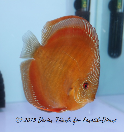 Discus solid brown