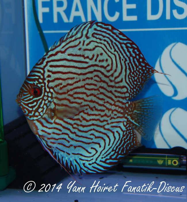 Discus 1st CAT Striped turquoise France discus show 2014