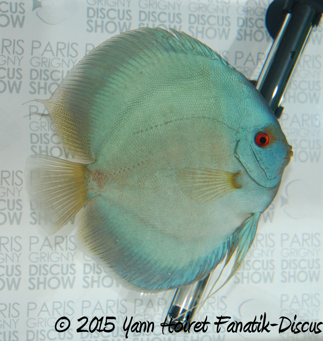 Blue diamond Paris Grigny Discus show 2015 best in show