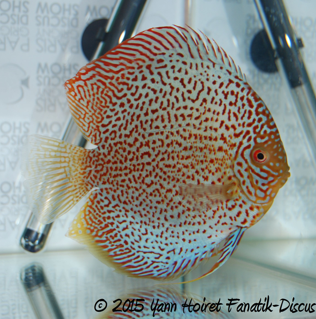 Discus red spotted Paris Grigny discus show 2015