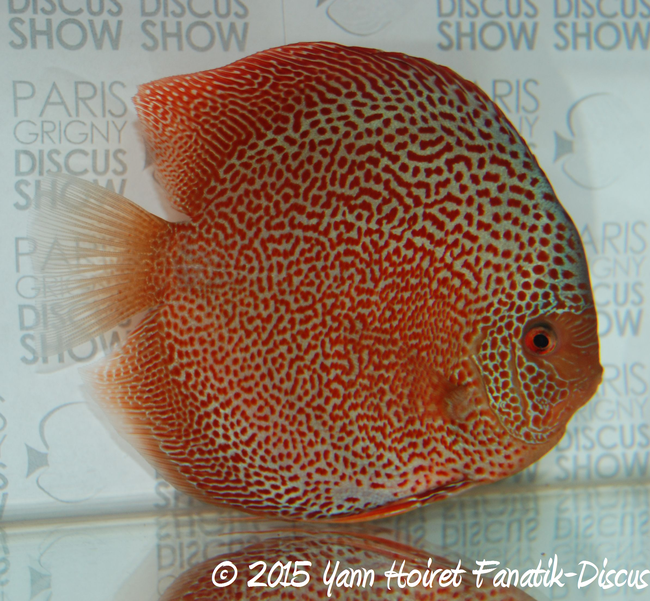 Discus red spotted snakeskin Frederic Gobert Paris 2015