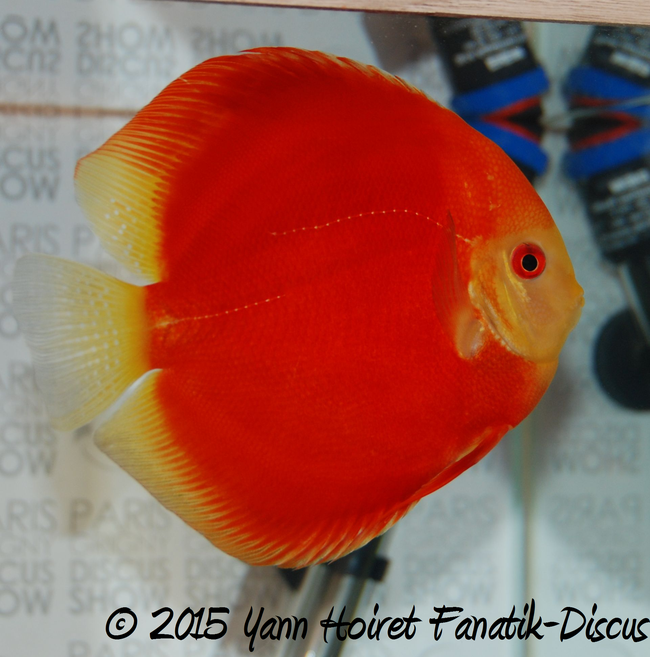 Discus solid red 2nd Paris Grigny discus show 2015