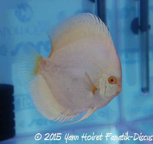 Championnat du monde des discus 2nd albinos