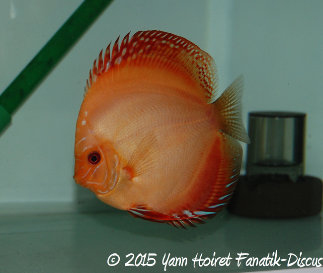 Reproduction de discus red melon 2015 Yann Hoiret