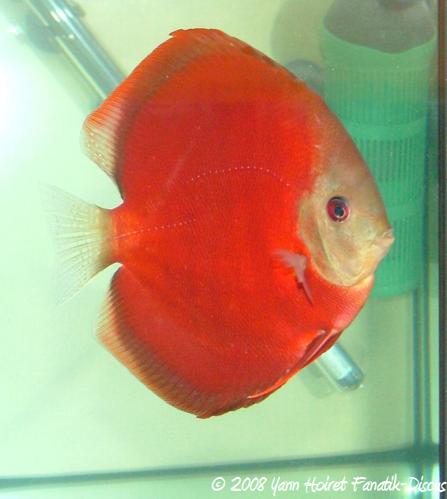 discus solid 90% red brown