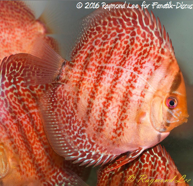 discus golden leopard ring