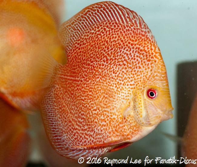 golden-red-spotted-snakeskin