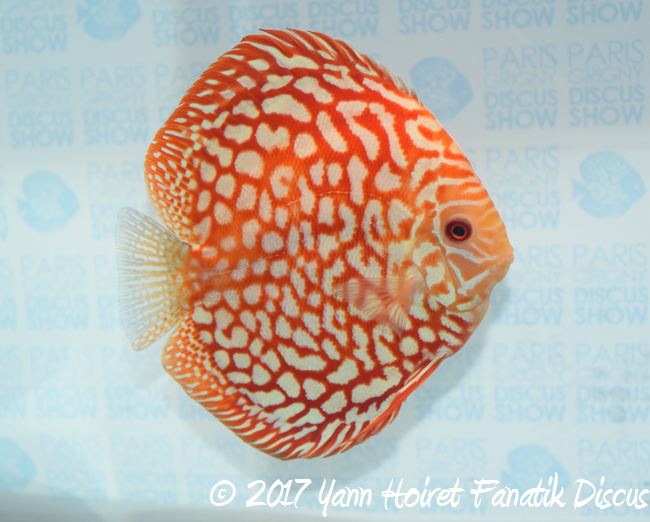 1st Fred Gobert élevage SG Discus