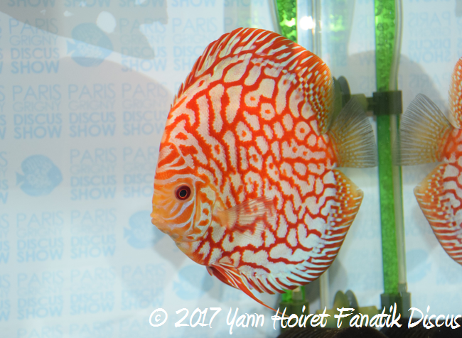 2nd large pattern francis hu élevage SG Discus
