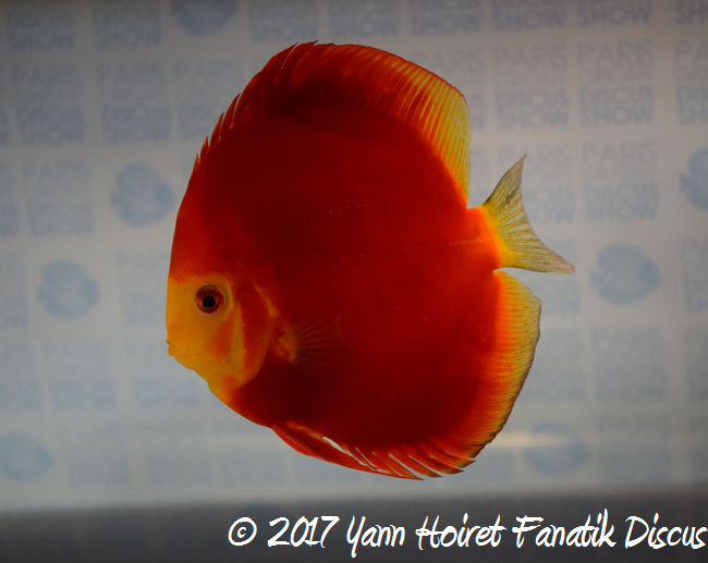Discus second cat rouge Francis Hu