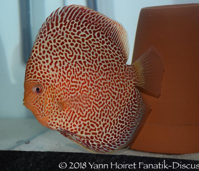 Red spotted discus Chen's discus Daniel Indarta Indonésie