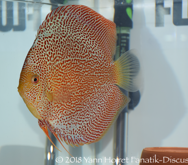 Nordic Discus Show 2018 Spotted discus winner