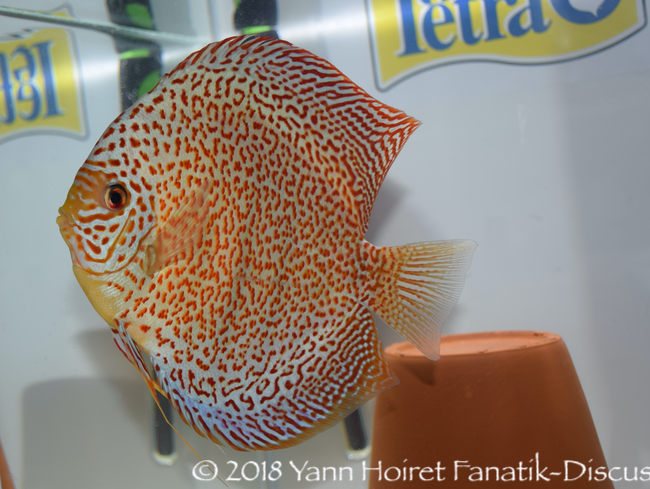 Discus spotted NDS 2018