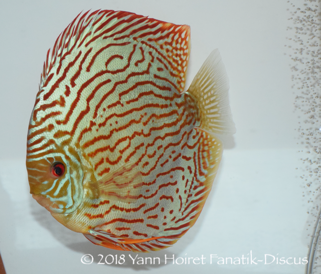 Discus striped turquoise Winner Nordic Discus Show 2018