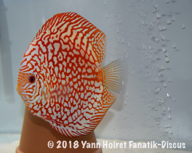 2nd Pattern pigeon blood Nordic Discus Show 2018