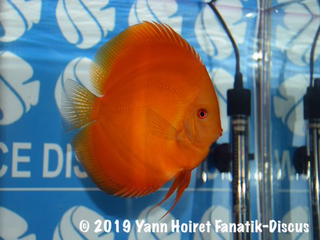 1st Open Uni  red melon discus FDS 2018