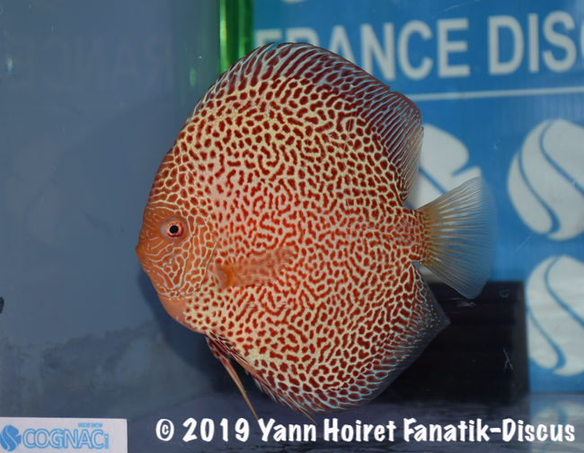 2nd Red Spotted France Discus Show Cognac 2018