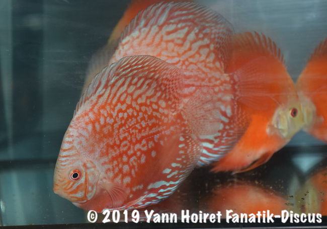 New variety of discus